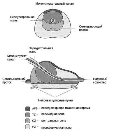 Размеры роста предстательной железы при раке простаты
